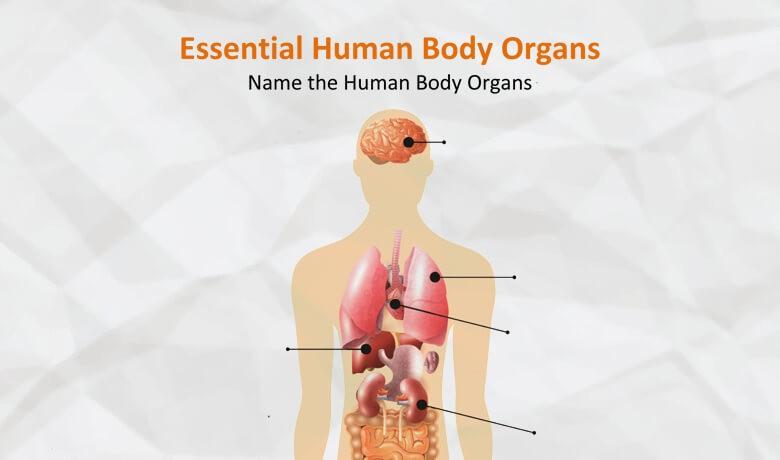 Essential Human Body Organs Worksheet<span class=
